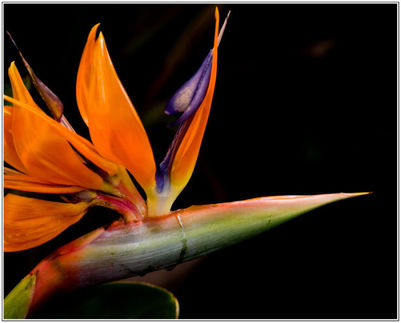 bird-of-paradise-flower-jpg