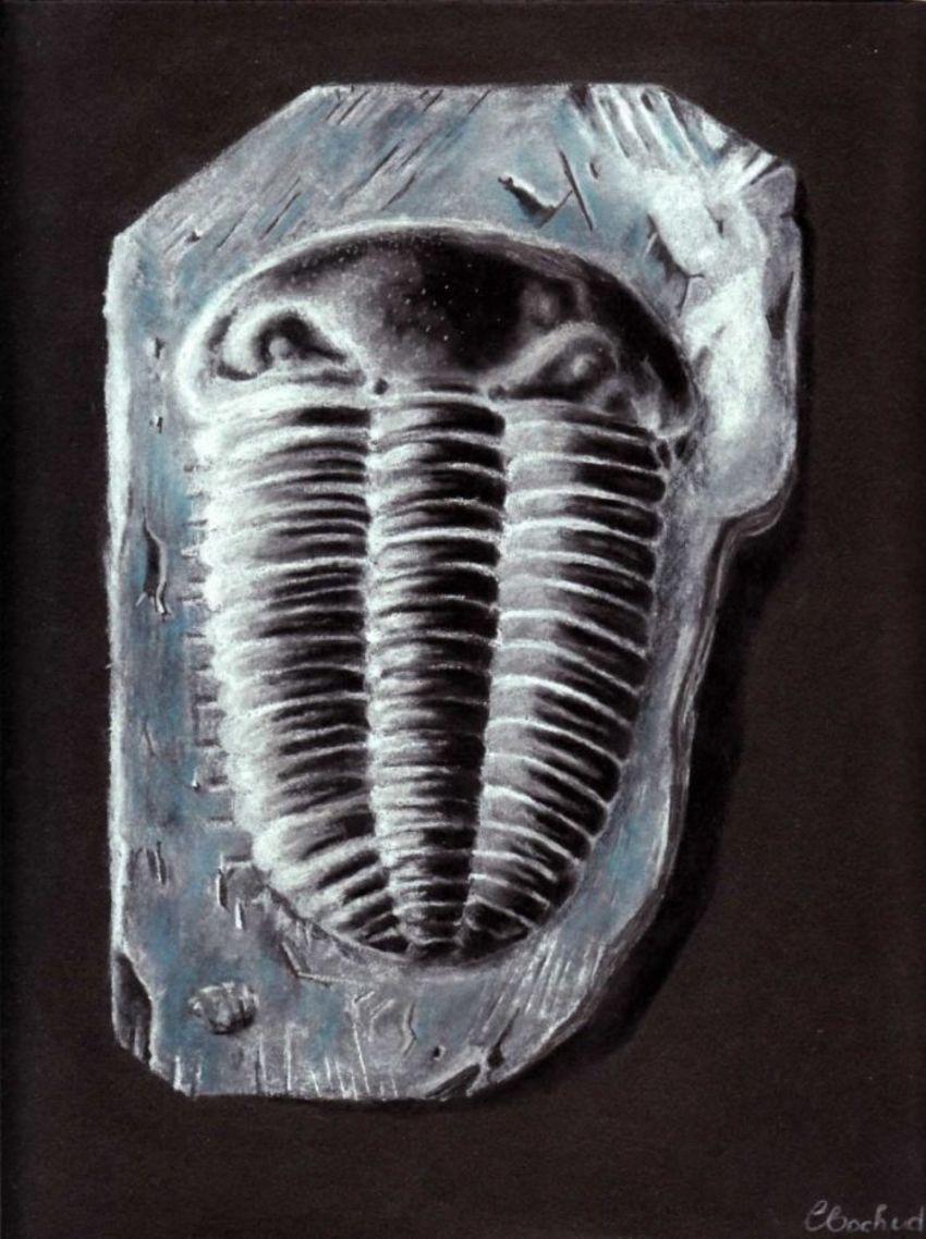 Trilobite  Fossil Devonian
