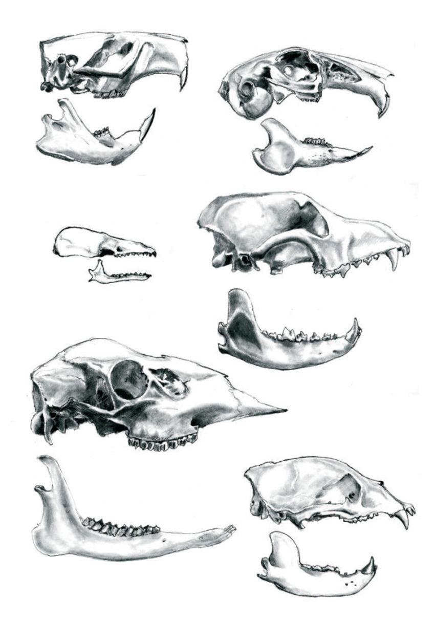 Skull Mammals Science Black White