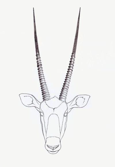 gemsbok-horns