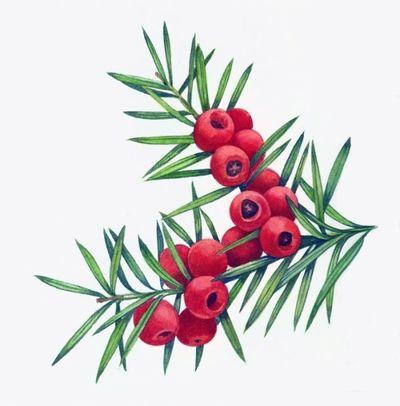yew-branch-1