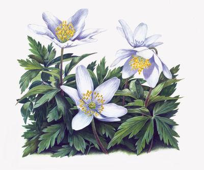 wood-anemone-artwork