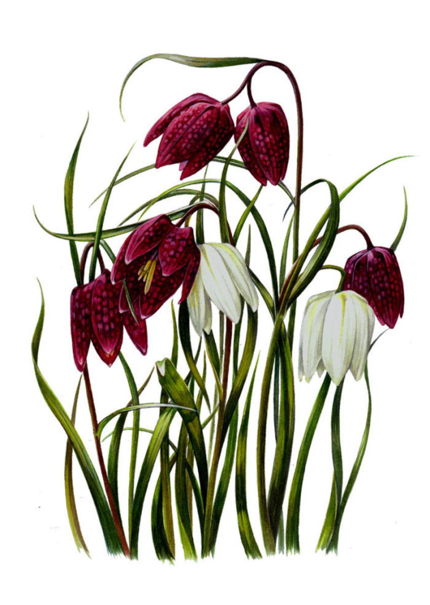 Snakes Head Fritillary Artwork