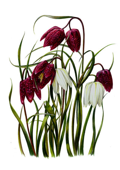 snakes-head-fritillary-artwork