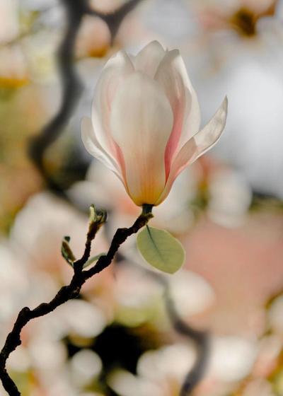 magnolia-002-jpg