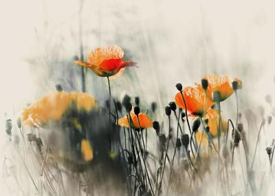 poppy-field-003-jpg