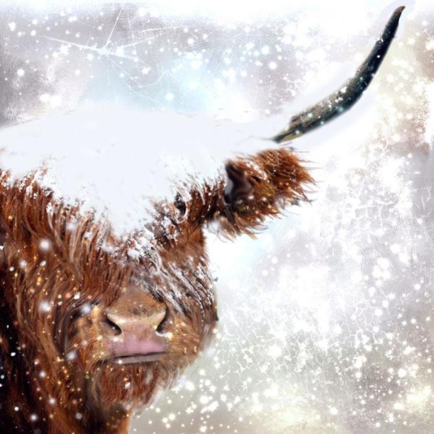 Snowy Highland Cow