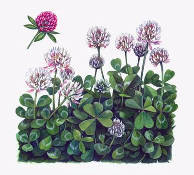 clover-artwork