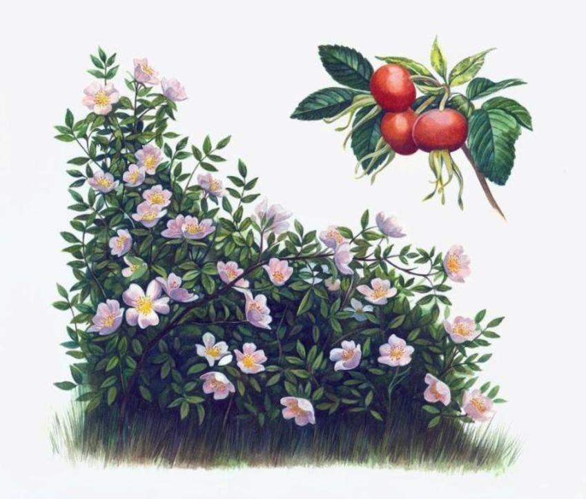 Wild Rose Artwork