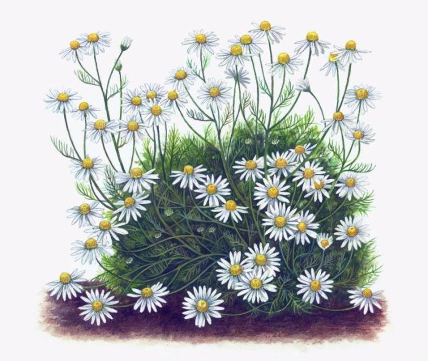 Chamomile Artwork