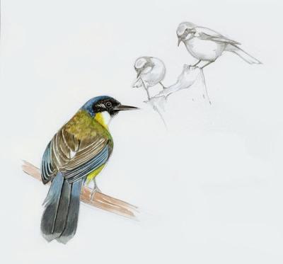blue-crowned-laughing-thrush