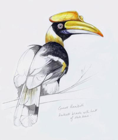 great-hornbill-artwork
