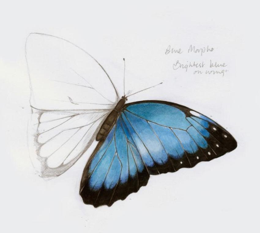 Blue Morpho Artwork