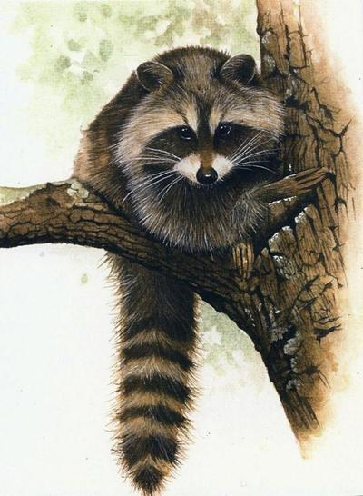 raccoon-1