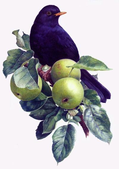 blackbird-in-an-apple-tree