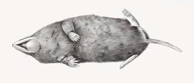 dead-shrew