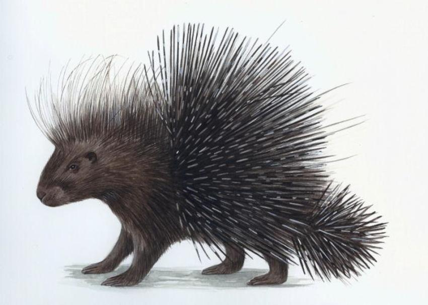 North African Porcupine