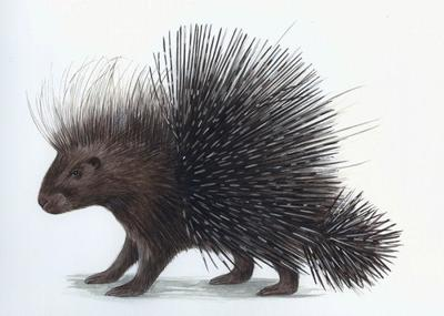 north-african-porcupine