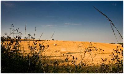 golden-field-jpg