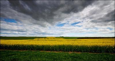 fields-of-yellow-jpg