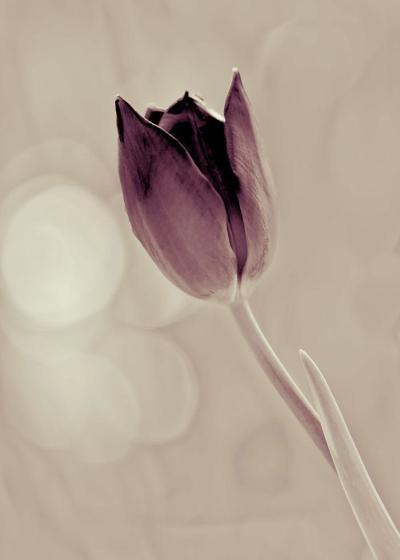 tulip-violet-005-jpg
