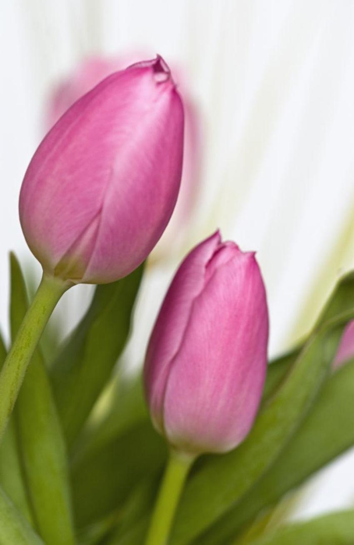 Tulip028