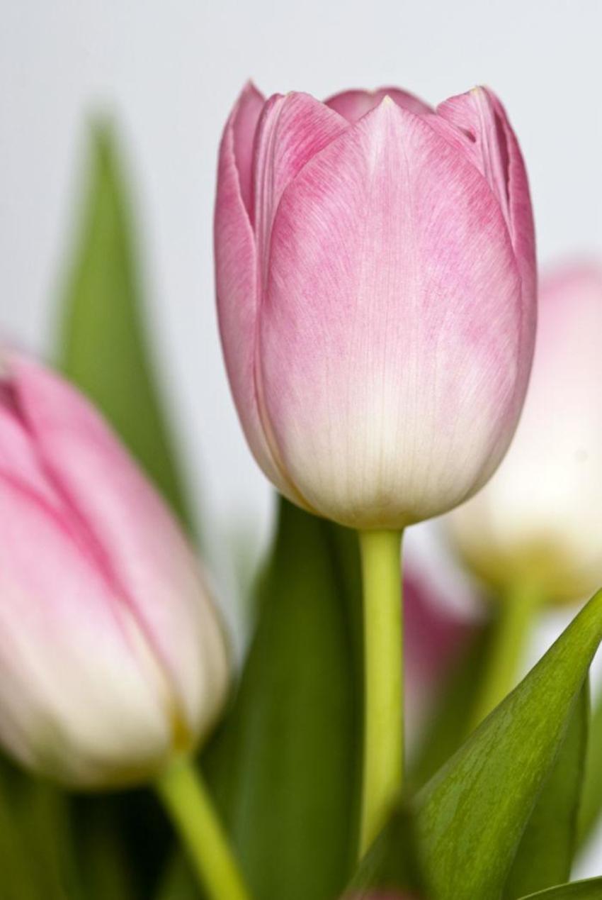 Tulip029