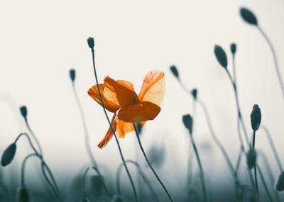 poppy-field-004-jpg