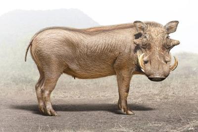 warthog-magnificient-land-mammals-val-2015-final-web