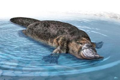 duck-billed-platypus-magnificient-land-mammals-val-2015-final-web