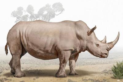 white-rhinoceros-magnificient-land-mammals-val-2015-final-web