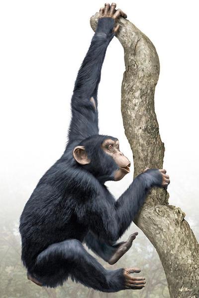 chimpanzee-magnificient-land-mammals-val-2015-final-web