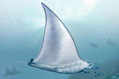 manta-ray-animal-magnificient-ocean-creatures-val-2015-final-web