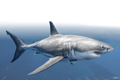 great-white-shark-animal-magnificient-ocean-creatures-val-2015-final-web