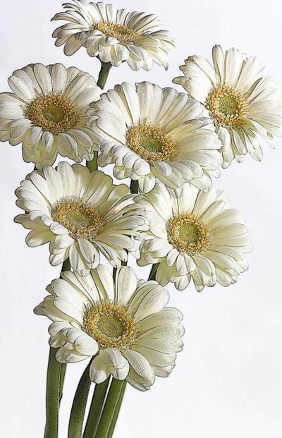 flower-fantasy-9-white-gerberas-lmn28268-1-jpg