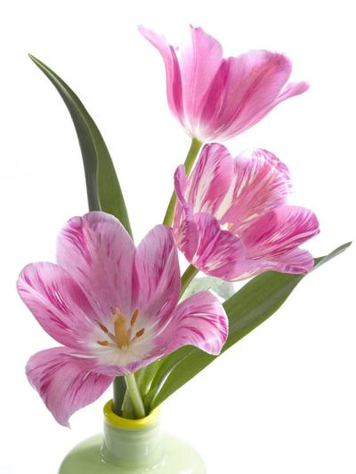 pink-tulips-in-vase-lmn27694-jpg