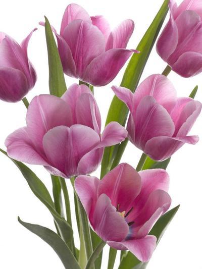 pink-tulips-lmn27563-1-jpg