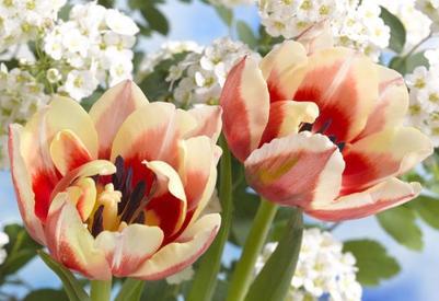 two-tulips-lmn27868-jpg