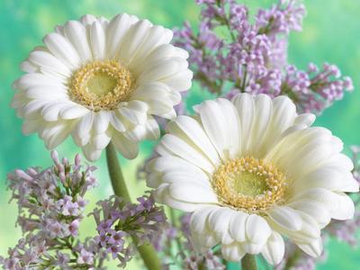 two-white-gerberas-lmn28306-jpg