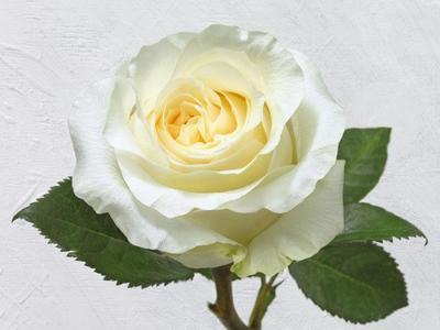 white-rose-lmn05210-2-jpg
