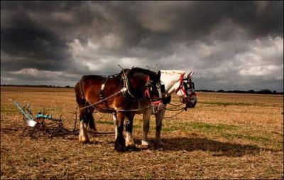shire-horses-jpg