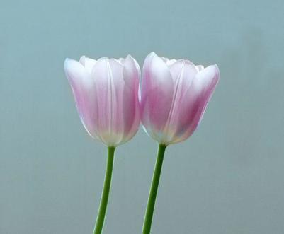 tulip-pink-blue-001-jpg