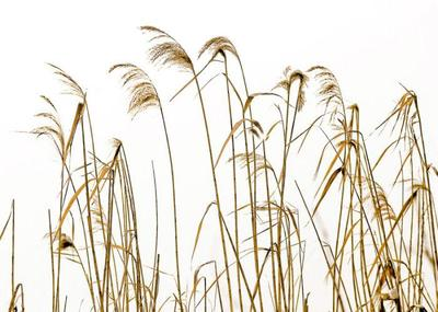 reeds-001-jpg