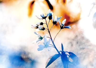 cherry-flower-001-jpg