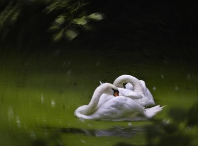 swans-together-jpg