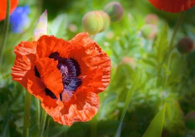 close-up-of-poppy-flower-jpg