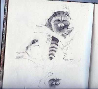 raccoon-sketch