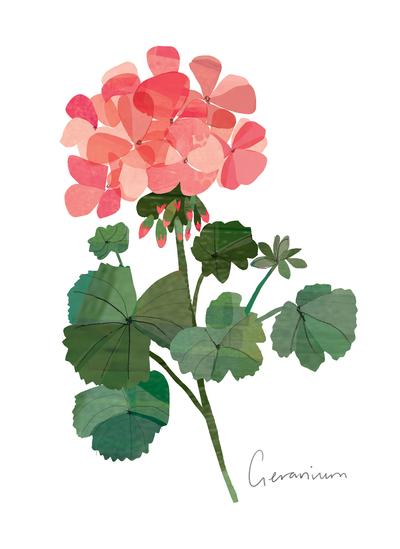 geranium-jpg-2