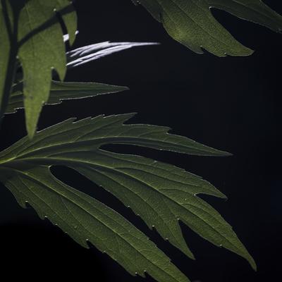 mpj-dark-green-leaves-jpg