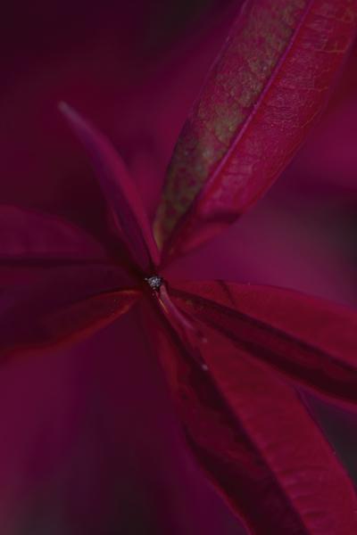mpj-fuchsia-red-leaf-detail-jpg